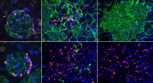 Stem cells become blood and immune cells in the Slukvin Lab