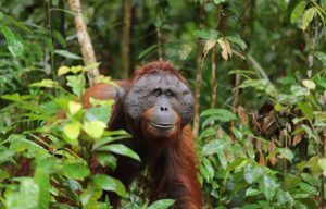 Photo of a male orang-utan in the Borneo rainforest by Graham L. Banes