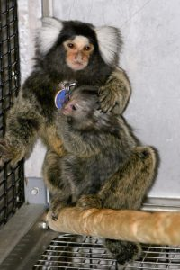 An infant marmoset monkey clings to his father at the Wisconsin National Primate Research Center.