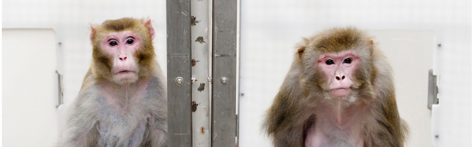 Two rhesus macaques side by side in the WNPRC calorie restriction and aging study 2009 (go.wisc.edu image)