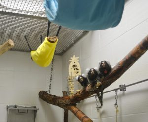 Three marmosets sitting on a branch in one of the Primate Center's marmoset pens similar to the lobby vivarium.