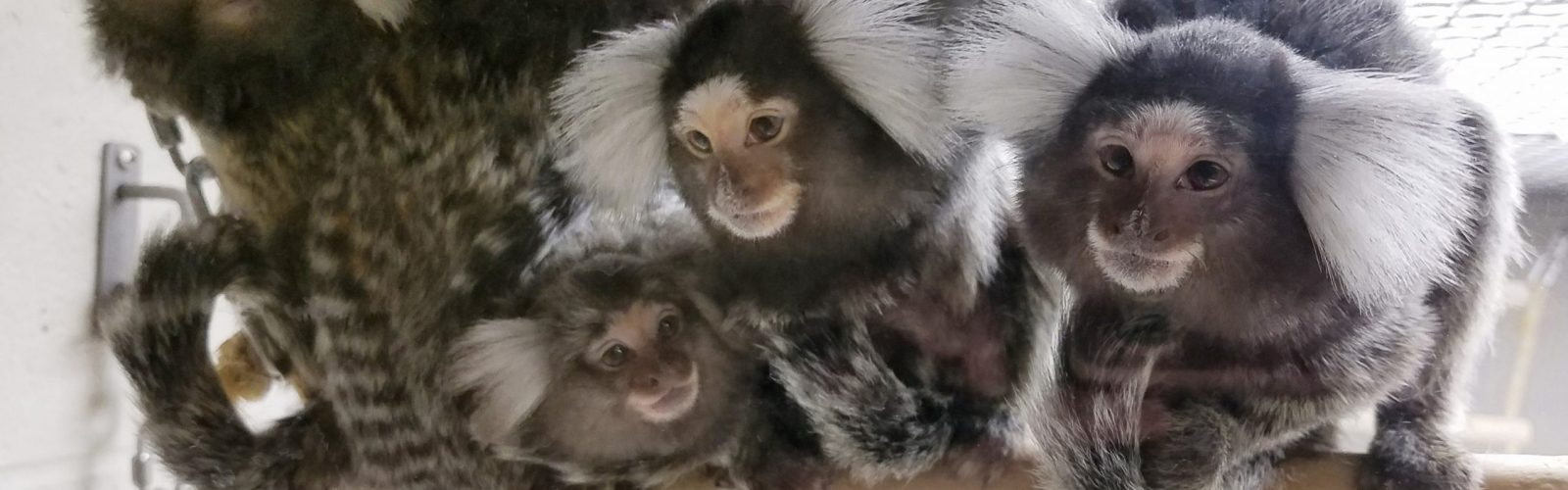 A family of marmosets in the WNPRC lobby vivarium (J. Lenon photo).