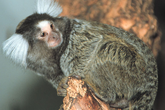 A common marmoset