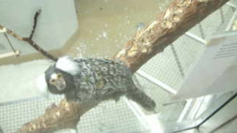 A marmoset viewed on the Callicam