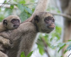 Closeup of two muriqui monkeys in the Brasilian forest (Photo by Pablo Fernicola).