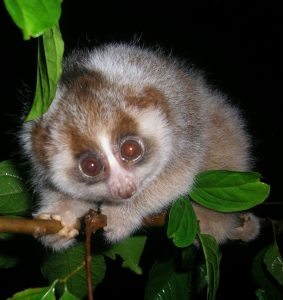 Slow loris on a branch in Indonesia