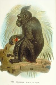 Crested black macaque artwork