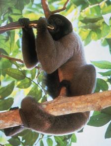 Wooley monkey sitting in tree