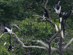 Colobus guereza's in a tree