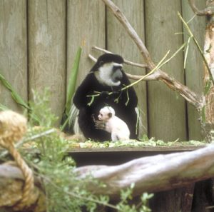 Colobus guereza mother and infant