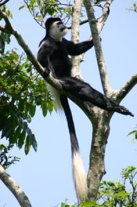 Colobus guereza in a tree