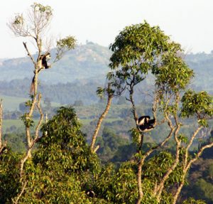 Colobus guereza's in tree's