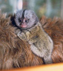 Common marmoset infant