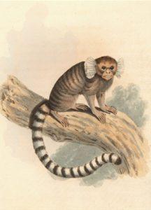 Common marmoset artwork