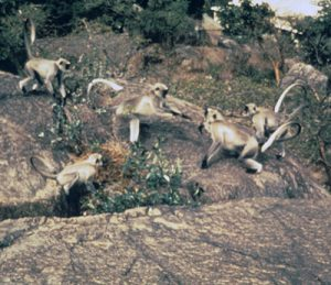 Gray langur group
