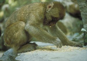 Japanese macaque foraging