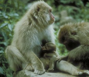 Japanese macaque mom with infant being groomed
