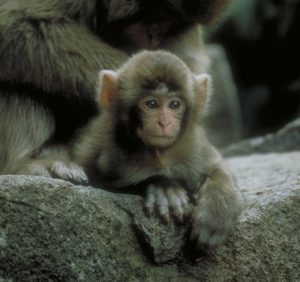 Japanese macaque infant