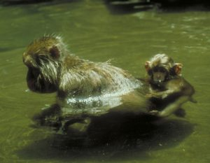 Japanese macaque mom with infant in hot spring water