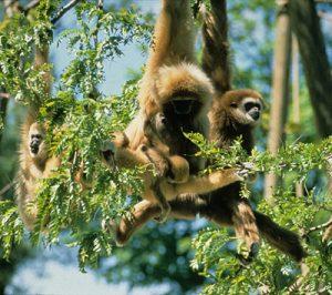 Three Lar gibbons in a tree
