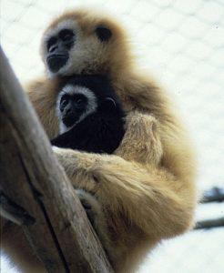 Lar gibbon mother and infant