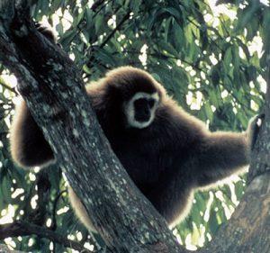 Lar gibbon in a tree