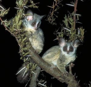 Two lesser bushbabies on a branch