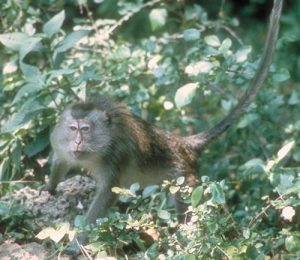 Long-tailed macaque on forest floor