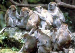Long-tailed macaque group grooming