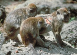 Long-tailed macaque group inspecting injured male