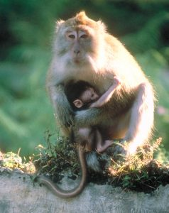 Long-tailed macaque mother and infant