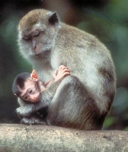Long-tailed macaque adult and infant