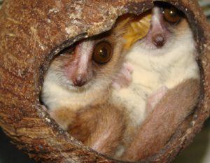 Mouse lemur nesting
