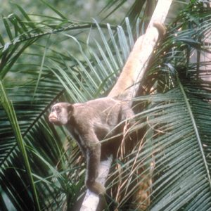Muriqui clinging on branch