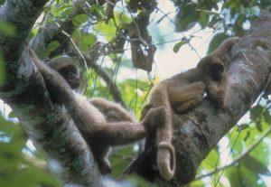 Multiple Muriqui in tree