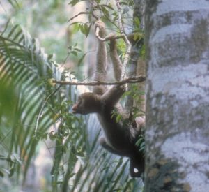 Muriqui hanging from branch