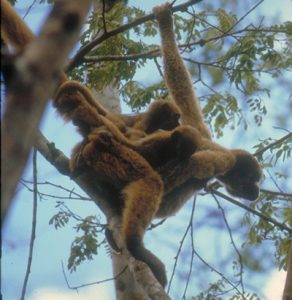 Muriqui mother and infant in tree