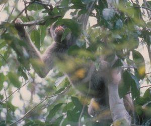 Muriqui in tree