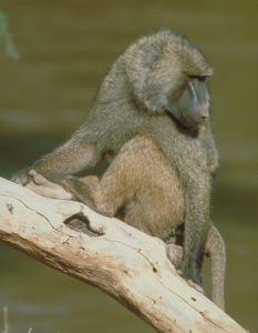 Olive baboon on a branch