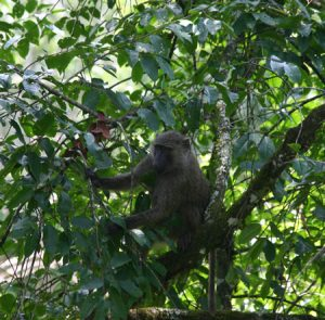 Olive baboon in a tree