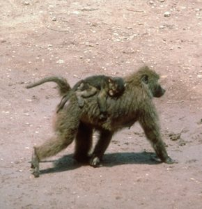 Olive baboon mother and infant