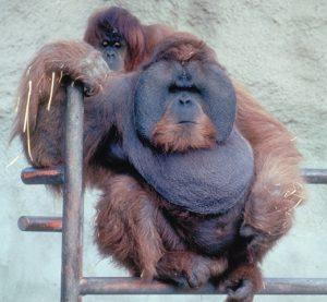Orangutan adult male and female