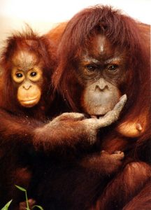 Mother orangutan and infant