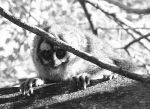 Owl monkey on a branch