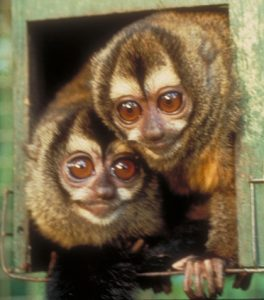 Two Owl monkey's
