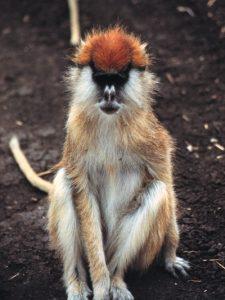 Patas monkey adult
