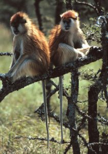2 Patas perching on a branch
