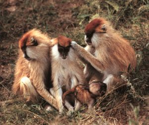 Group of Patas monkeys