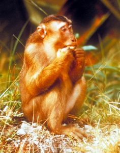 Pigtail macaque eating