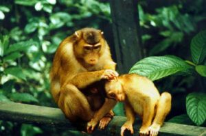 Pigtail macaque grooming youngster
